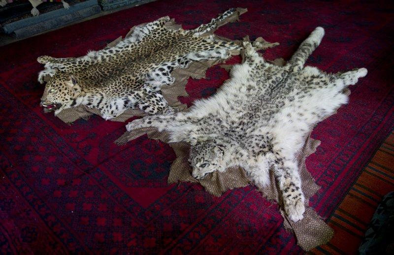 雪豹毛皮十分珍貴,一張近台幣7萬,盜獵是最大的生存危機。(美聯社)