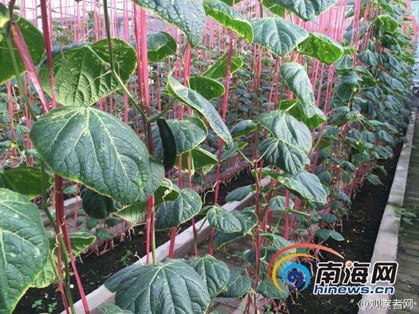 陸媒近日宣稱,南海的永興島已經可以種植蔬菜(微博)