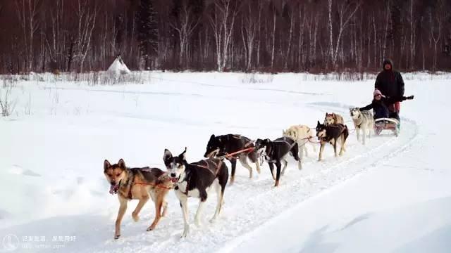 沿途村落的雪橇犬。(圖/Klook提供)