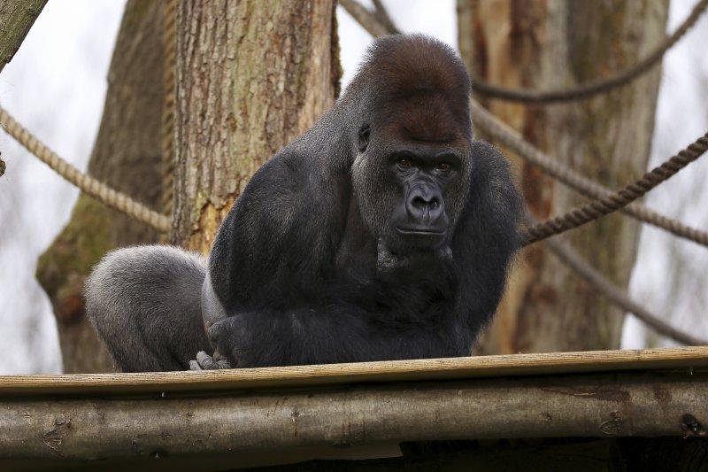 倫敦14日發生大猩猩自動物園脫逃的驚險場面,再度引發圈禁動物爭議。(美聯社)