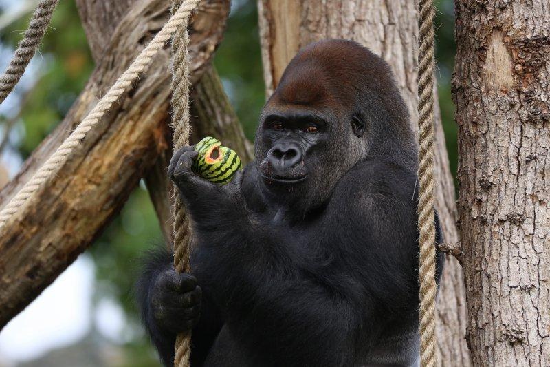 大猩猩肯卜卡14日被遊客激怒,竟破壞獸欄成功逃出。(美聯社)