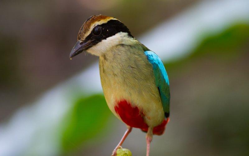 鳥類八色鳥(呂紹煒攝)