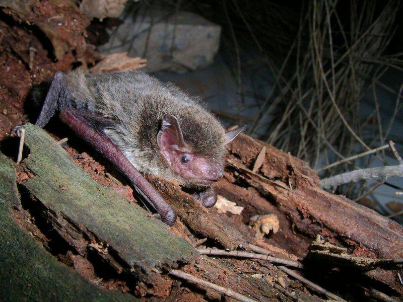 2016-11-09-在台檢出全球首例新型麗沙病毒的東亞家蝠-台北市蝙蝠保育學會提供