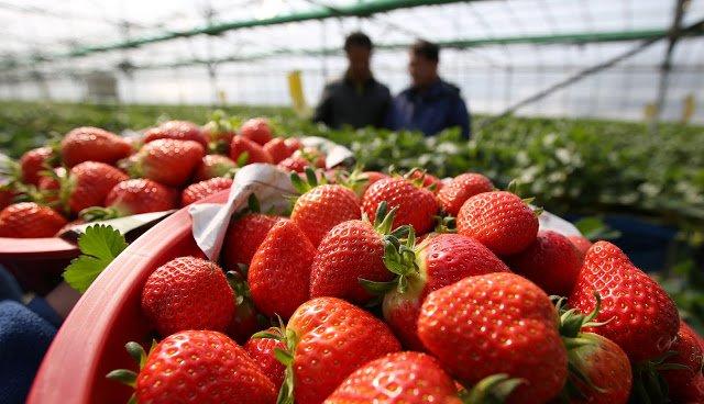 韓國草莓村。(圖/Republic of Korea@flickr,KKDAY提供)