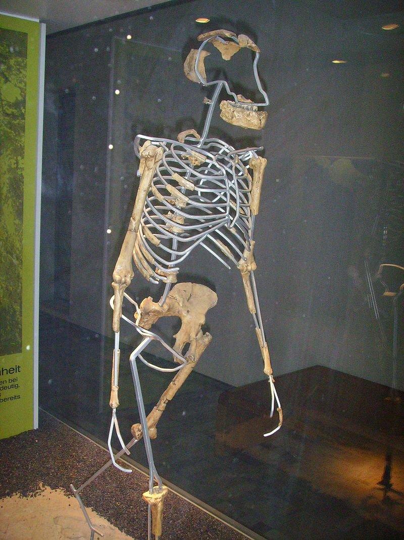 露西骨骸的複製品側面。(Gerbil Date@wikipedia/CC BY-SA 3.0)