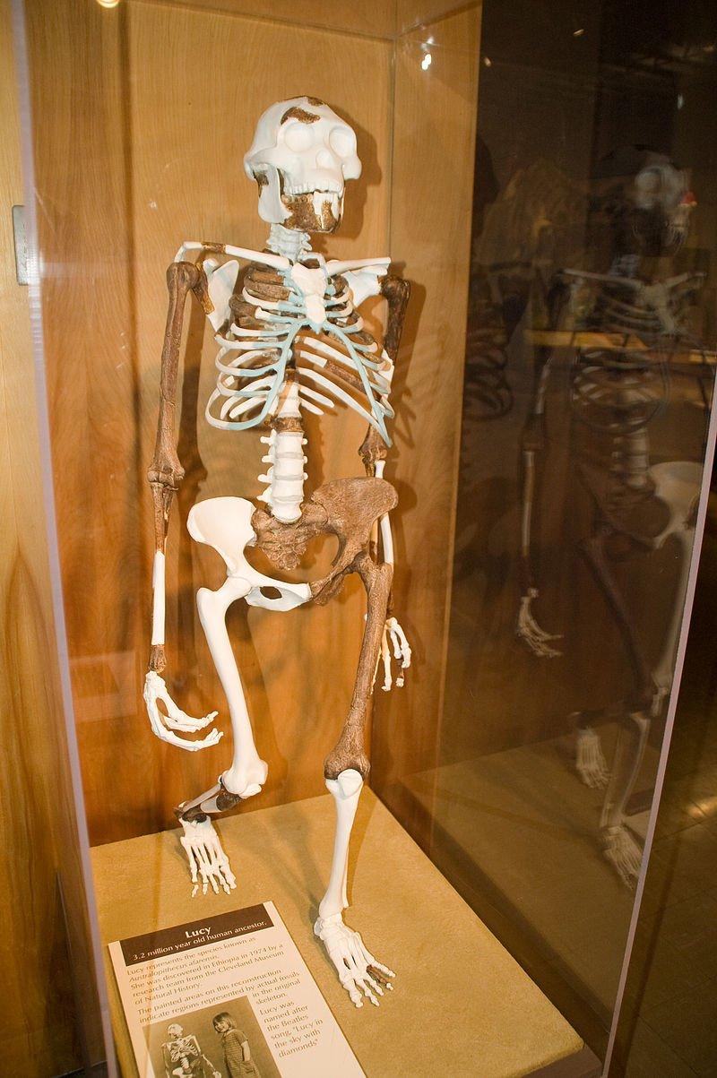 美國克利夫蘭自然歷史博物館內對露西骨架的重建。(Andrew@wikipedia/CC BY-SA 3.0)