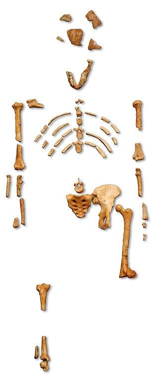 露西的骸骨。(120@wikipedia/CC BY-SA 2.5)