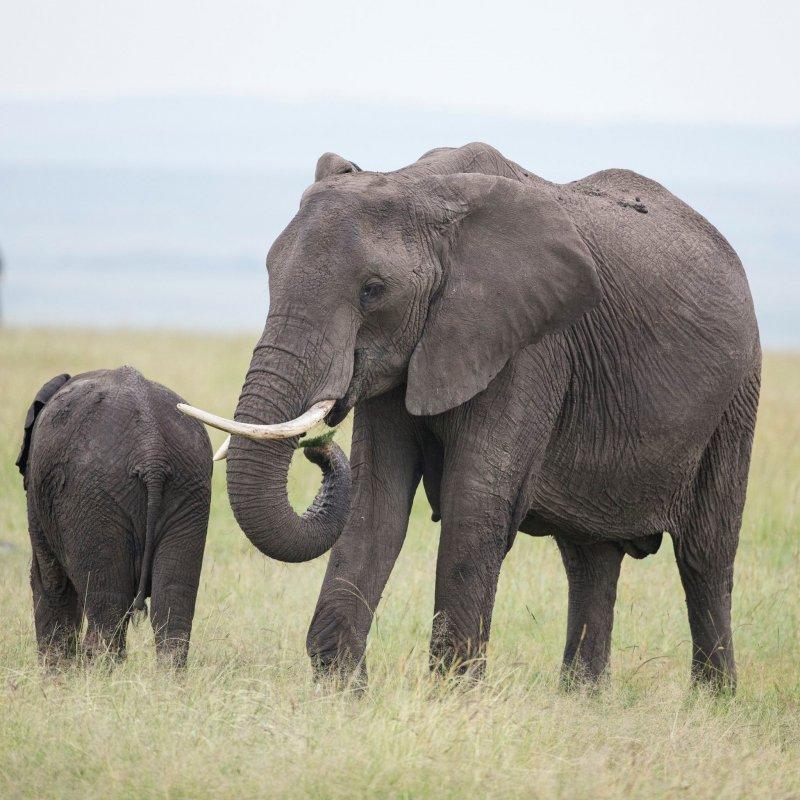 非洲象因象牙遭大量捕獵,擁有象牙的大象越來越少。(取自Elephant Voices臉書)