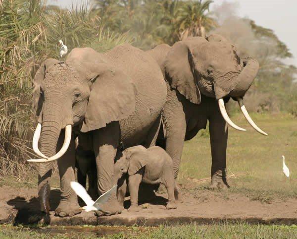 非洲象因象牙遭大量捕獵,擁有象牙的大象越來越少。(取自Elephant Voices網站)