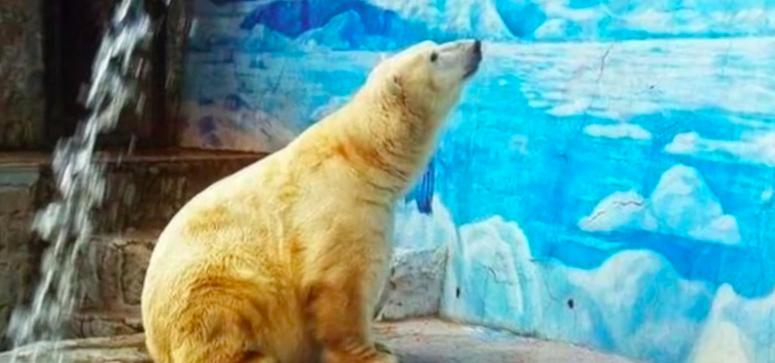 全世界最悲傷的北極熊:阿圖羅。(圖/Paolo Mainardi@youtube)