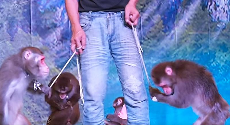 獼猴被繩索控制,面露無奈。(圖/new east@youtube)