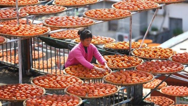 對該地的村民來說,柿子是他們生活的主要生活來源之一。(BBC中文網)