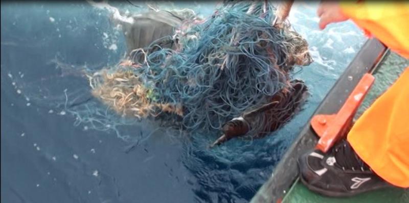 保育類綠蠵龜和玳瑁龜遭到漁網纏繞。(海巡署海洋巡防總局提供)