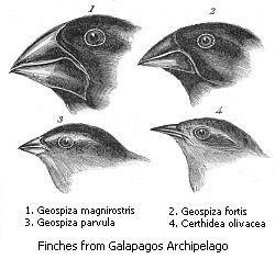 加拉巴哥群島的13個雀鳥主要的特徵差異在於鳥喙的形狀,達爾文認為,這是自然選擇造成的演化結果。(wikipedia/public domain)