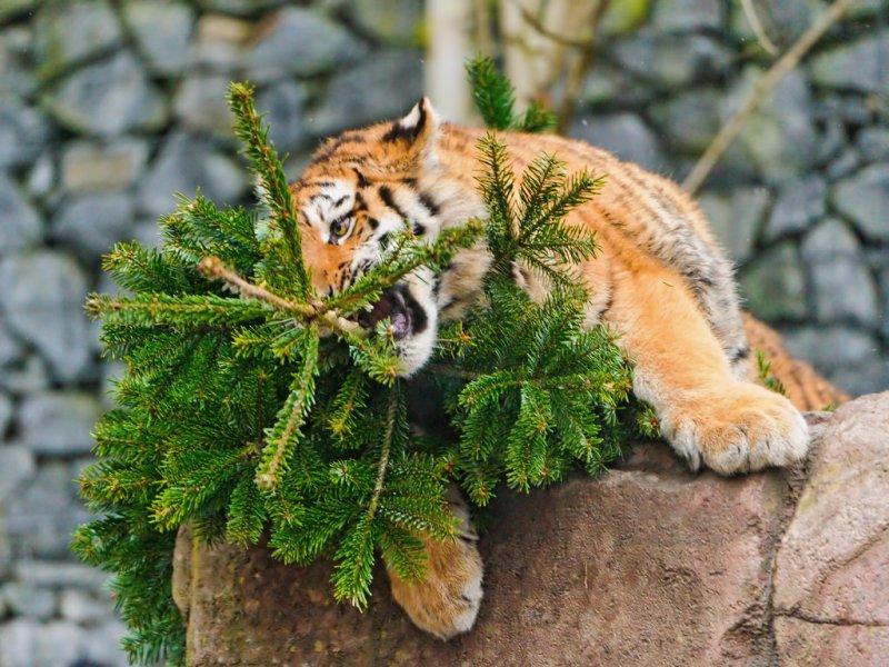 奧克蘭動物園的老虎寶寶在啃咬聖誕樹枝條。(圖/TambakoTheJaguar@flickr)