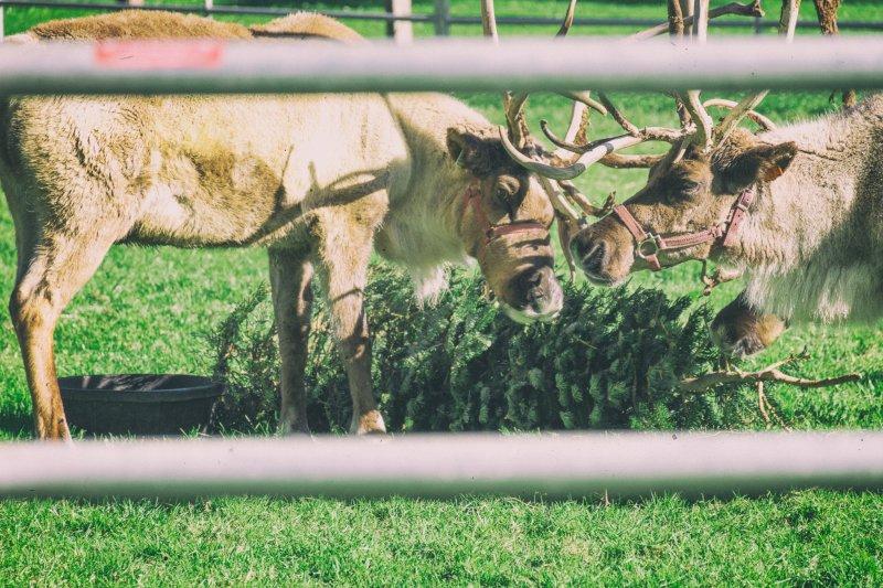 除了大象,草食性動物都能享用聖誕樹大餐。(圖/DavidGoehring@flickr)