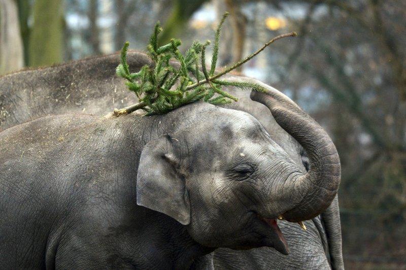 細軟的松針變成大象的「不求人」。(美聯社)