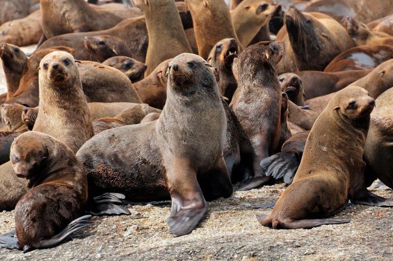一隻最強的公海狗可以「統御」五十隻母海狗。(圖/時報出版提供)