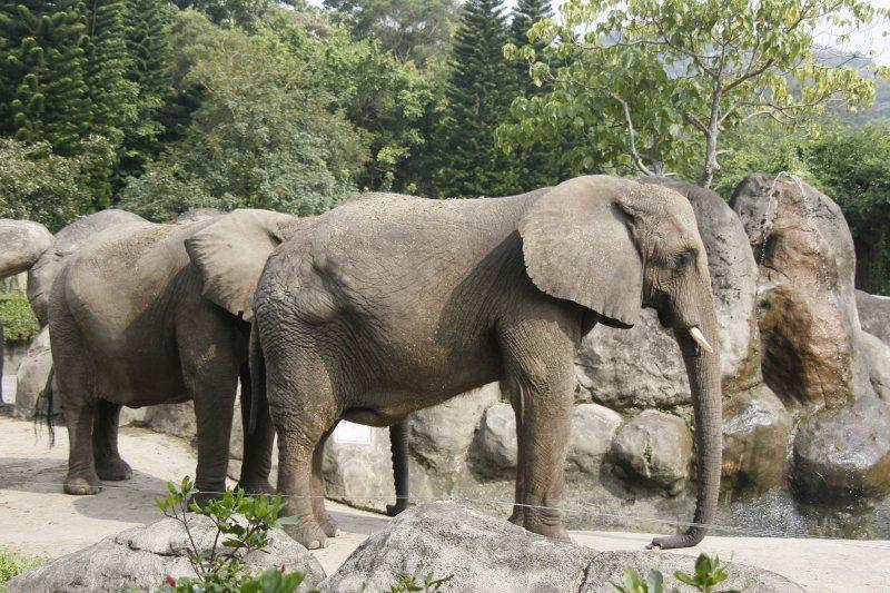 非洲象雖然動作慢,卻很會打持久戰。(圖/時報出版提供)