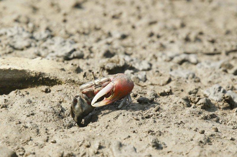 公招潮蟹的單隻大螯,中看不中用。(圖/時報出版提供)