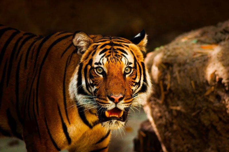 阿拉伯聯合大公國的公民今後將不能再把老虎和其他大型貓科動物當寵物豢養。(圖取自pixabay圖庫)