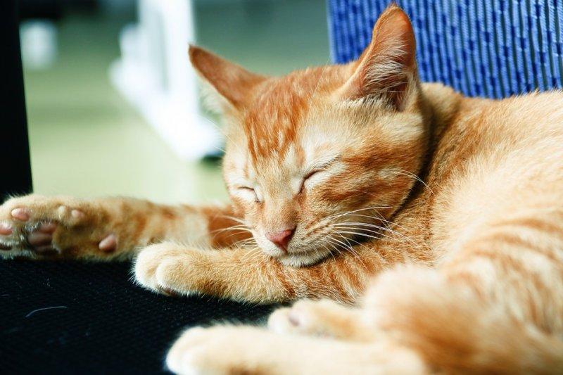因為在主人身邊而感到安心時,貓咪也可能發出咕嚕咕嚕聲。(圖/Pixabay)
