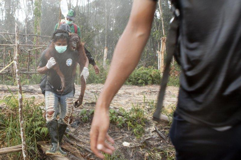 在加里曼丹西部,一片油棕經營特許區裡,國際動物救援組織印尼分部救出因森林遭皆伐而失去生活環境、飢餓的紅毛猩猩,以滴管餵食。這是他們多次救援中的一次。(綠色和平組織提供)