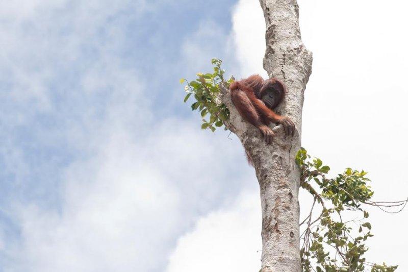 婆羅洲紅毛猩猩的生存狀態,已經從「瀕危」(endangered)提升至「極瀕危」(critically endangered),指出牠們數量急降的原因為棲息地遭到破壞。(綠色和平組織提供)