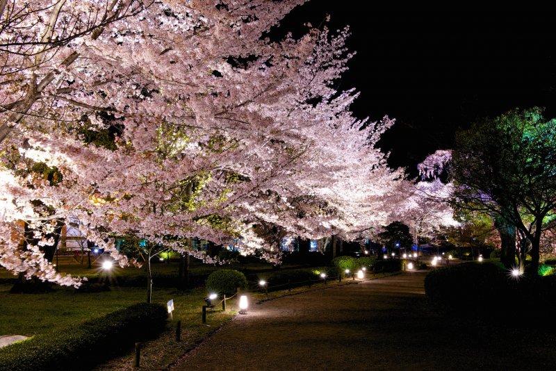 夜櫻(圖/Ryosuke Yagi@Flickr)