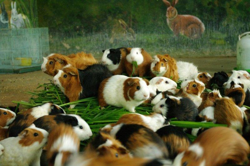 可愛動物區也開啟保溫燈,小兔子、天竺鼠也在暖暖燈光下食慾大開,認真啃食胡蘿蔔和穀物的模樣十分可愛。﹝新竹市立動物園﹞