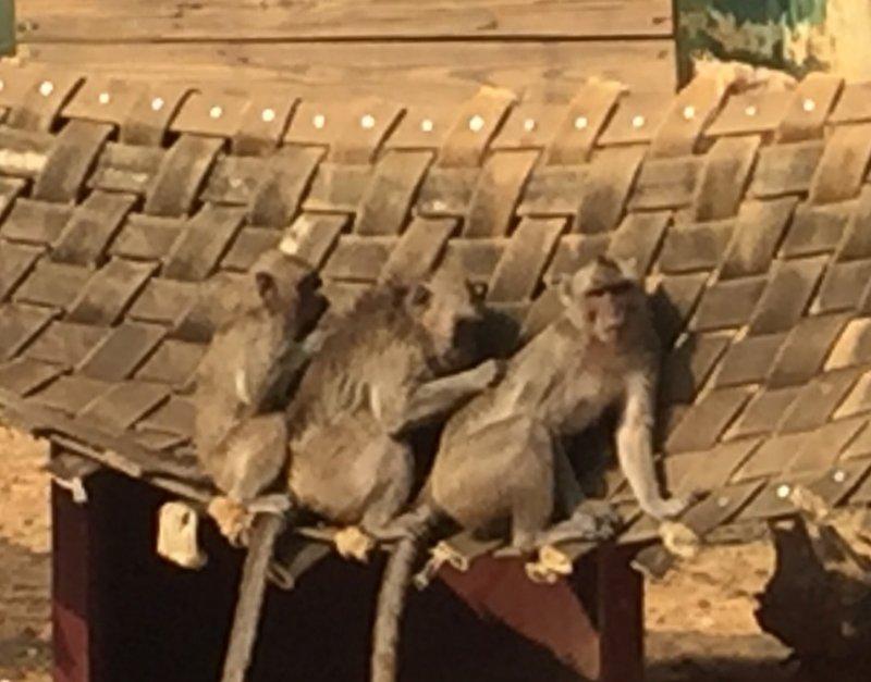 趁著白天尚有太陽出現的空檔,活潑可愛的猴子們也依偎在一起,相互理毛、增進情感。﹝新竹市立動物園﹞