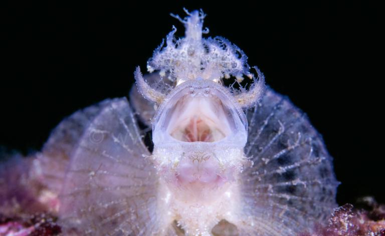 龍王鮋是台灣東北角龍洞的棲息生物。(圖/海底攝影師李衍毅提供)