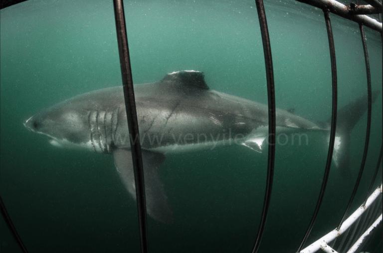 海底攝影師李衍毅在南非拍到沒有背鰭的大白鯊。(圖/海底攝影師李衍毅提供)