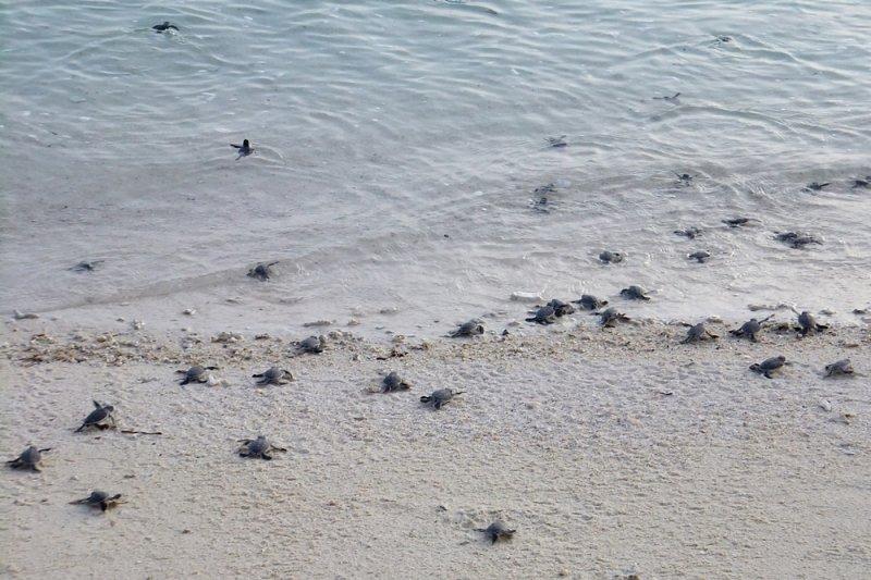 剛出生的小海龜。(圖/作者提供)