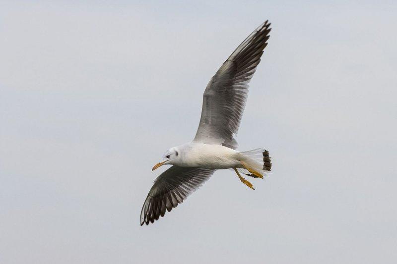 細嘴鷗上次是在嘉義被觀測到,當時觀測到的是幼鳥的蹤跡。(Zeynel Cebeci@Wikipedia / CC BY-SA 4.0)