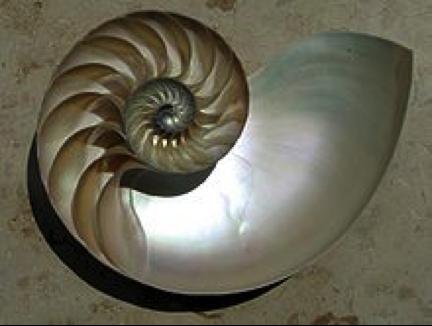 鸚鵡螺的殼室by Manuae,Chris73(維基百科)