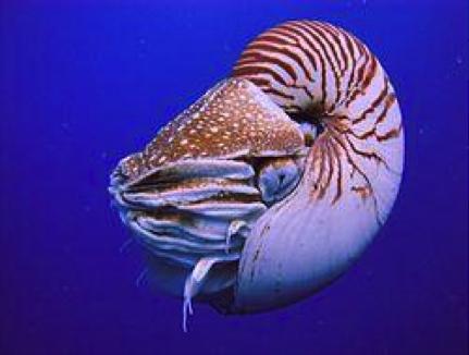 鸚鵡螺by Manuae,Chris73(維基百科)