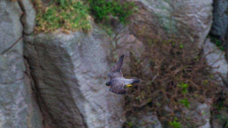 東北角龍洞的鳥類-遊隼(呂紹煒攝)