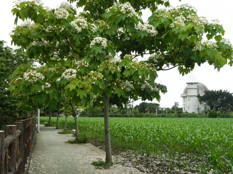 每年四、五月桐花盛開,客家人總是抱著感激、崇敬的心回到土地的懷抱。(圖/擷取自客家桐花祭@Plurk)