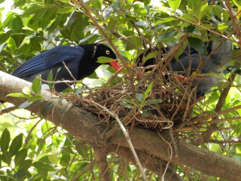 動保處也呼籲,繁殖期過後,藍鵲寶寶再3至4週就會跟隨鳥爸爸、鳥媽媽離巢,不會造成長期影響。(取自臺北市動物保護處)