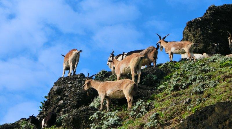 蘭嶼的野生山羊隨處可見。(圖/俞嘉琦 拍攝)