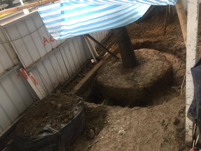護樹志工發現老樹已被斷根。(蕭啟仁提供).jpg