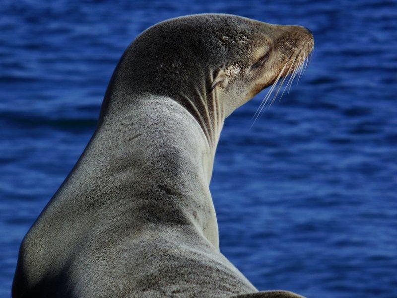 海獅聰明、靈巧,可愛外表常讓人忘記其動物本質。(Deserticola@wikipediaCCBYSA3.0)