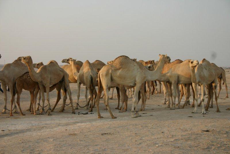 卡達牧民在沙國和卡達邊境放牧的駱駝被強制遣返。(示意圖/deafdude@flickr)