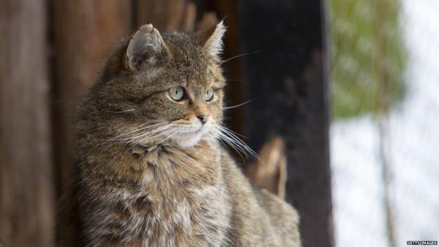 家貓是從野生貓馴養過來的。(BBC中文網)