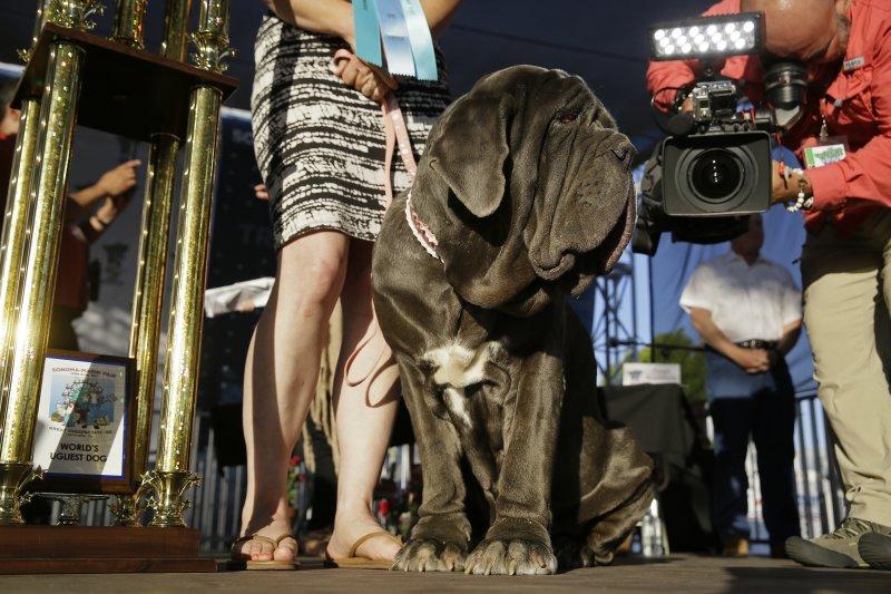美國獒犬Martha獲選為「全球最醜狗狗」(World's Ugliest Dog)新一屆冠軍(AP)