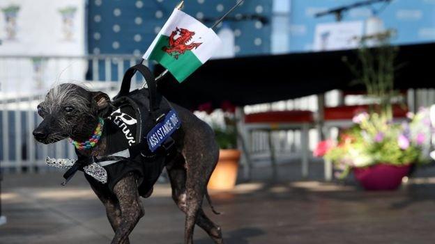 季軍切斯(Chase)是中國鳳毛犬和哈克犬混血。它身上的藍牌牌上寫著「協助犬」。(BBC中文網)