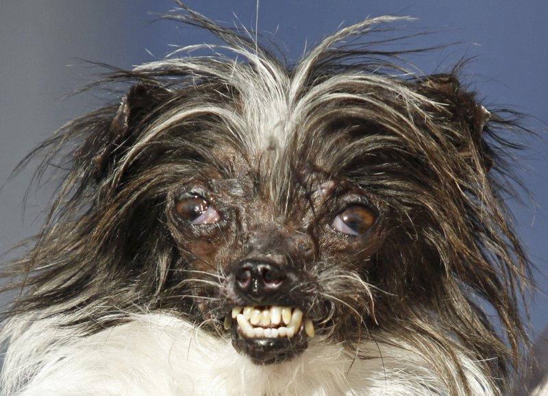 2014「全球最醜狗狗」(World's Ugliest Dog)大賽冠軍Peanut(AP)
