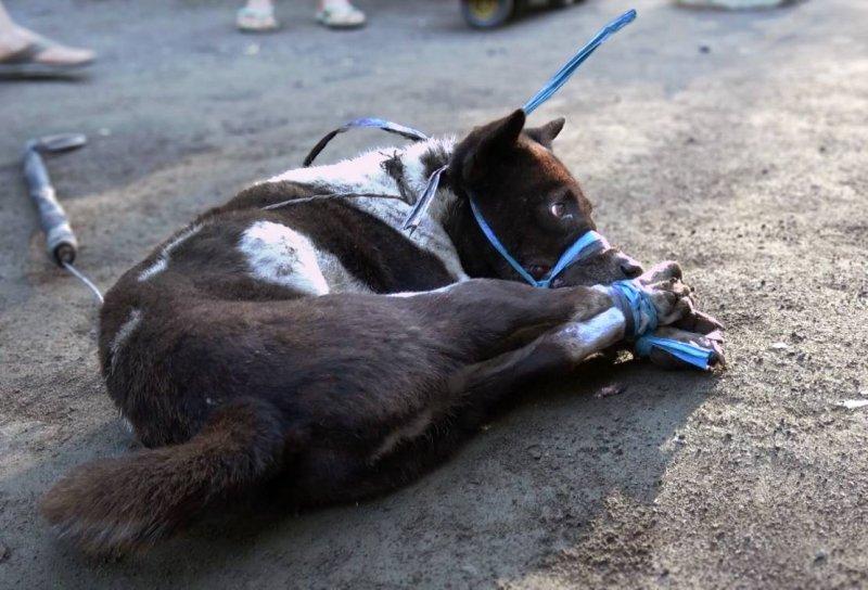 澳洲動物組織踢爆,印尼峇里島常有人捕殺犬隻,不知情的遊客恐已下肚。(圖/Animals Australian )