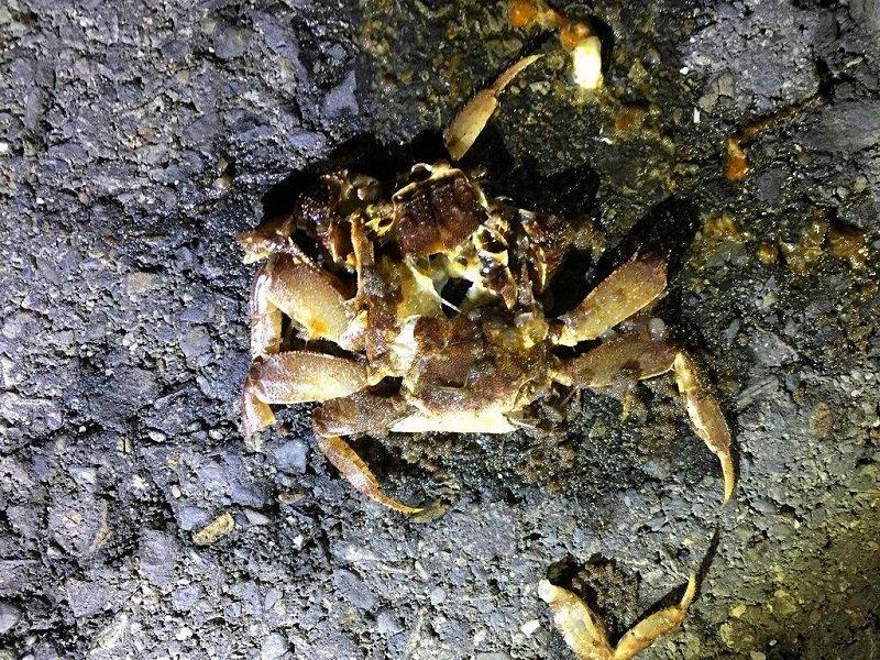 讓人心痛的死于車輪的陸殺。一隻成年母蟹一次產卵可達三四十萬粒,每多一個陸殺,這個世界就會減少幾十萬隻陸蟹。(寇延丁提供)